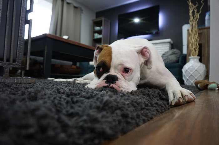 How To Get Rid Of Fleas In Your House Permanently